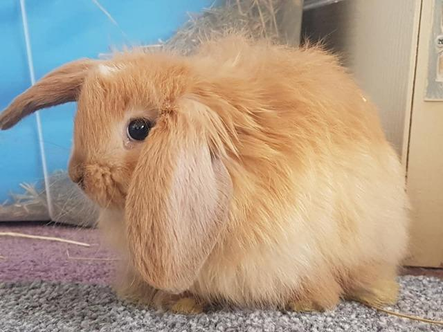 Harry is one of our young rabbits waiting to be neutered ready for adoption.